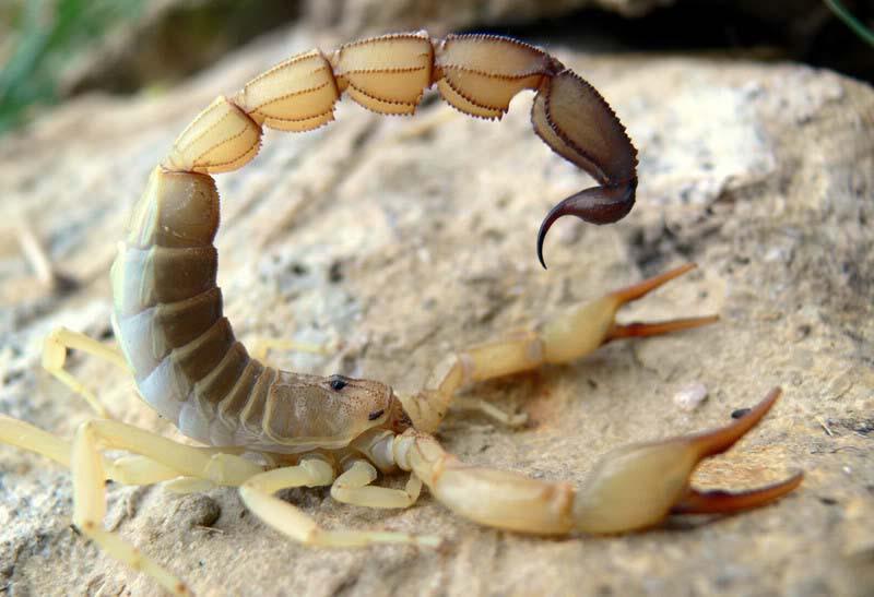 yellow-fat-tail-sandmountain
