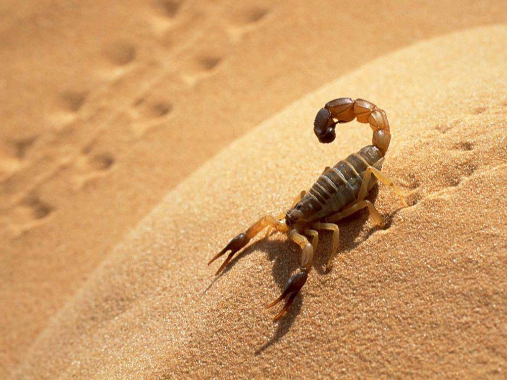 Death-Stalker-Scorpion-sandmountain