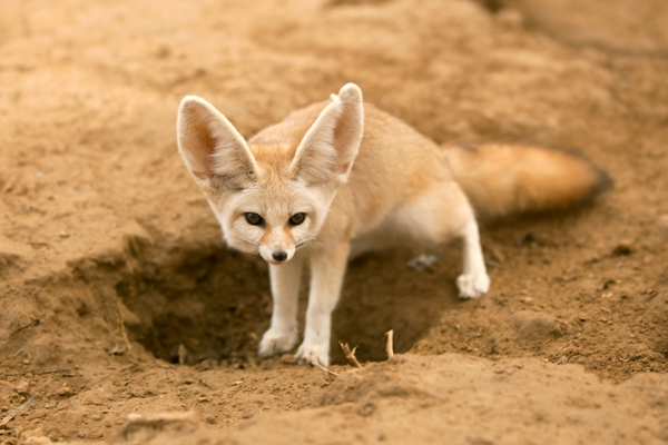 FennecFox-sandmountain